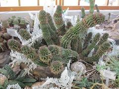 cactus-frills